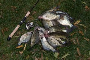 Pile of caught crappie fish with rod