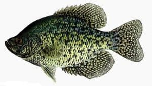 Picture of Crappie fish