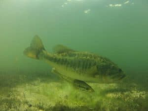 Bass swimming under water