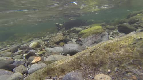 salmon swimming under water