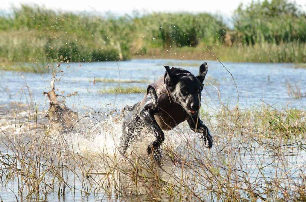 7 Tips for Keeping Your Duck Dog Warm While Hunting